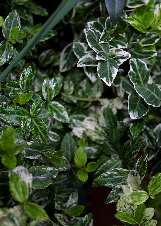 variegated: variegated euonymus