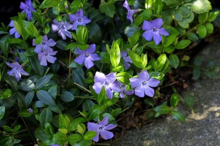 flowering vinca minor Stockfoto