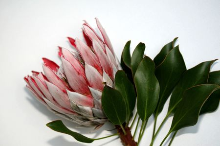 king protea tropical flower