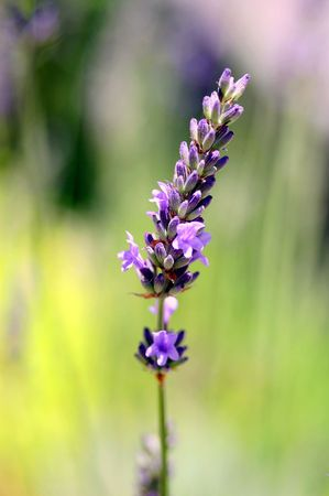 lavender just blooming Stock Photo
