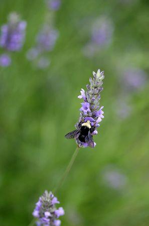 lavender bee photo