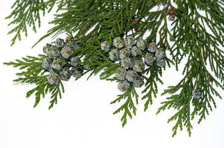 cedar branch cones Stock Photo