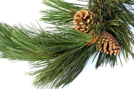 scotch pine branch cones Stock Photo - 472380