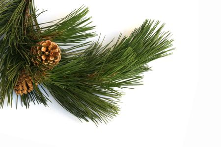 boughs: scotch pine branch cones Stock Photo