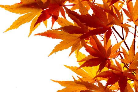 branch of maple leaves beginning to turn color