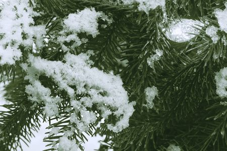 wintry holiday background: snowy acrocona norway spruce tree branches and festive facet light