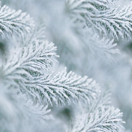 acrocona spruce branches with dusting of  Stockfoto