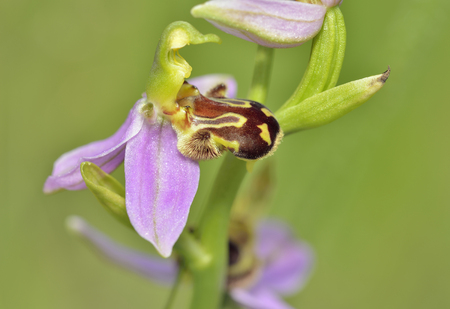 Bee Orchid - Ophrys ApiferaSingle flower close-up Stock Photo