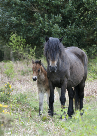 exmoor: Exmoor Pony Foal & Mare