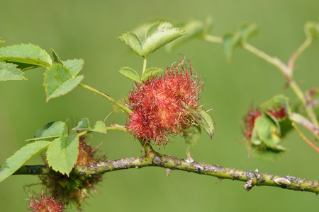 Robins Pin Cushion Gall - Diplolepis rosae, on Dog Rose - Rosa canina