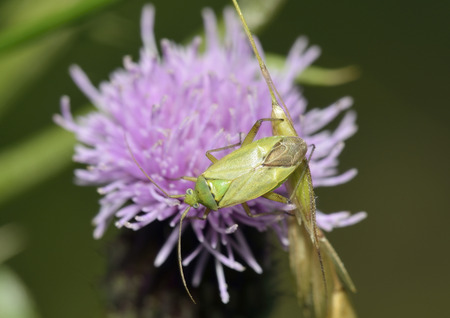 Potato Capsid Bug - Closterotomus norwegicuson Creeping Thistle - Cirsium arvense Stock Photo