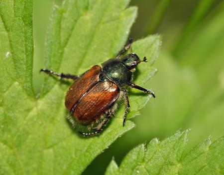 Garden Chafer Beetle - Phyllopertha horticolaon leaf