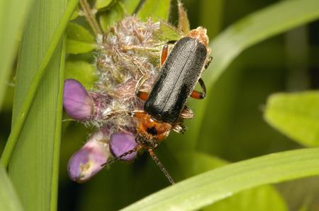 Rustic Sailor Beetle - Cantharis rustica A Soldier Beetle