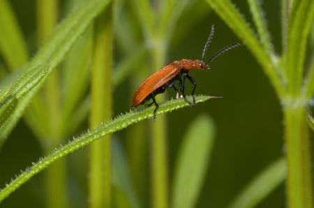Red-headed Cardinal Beetle - Pyrochroa serraticornis Stock Photo