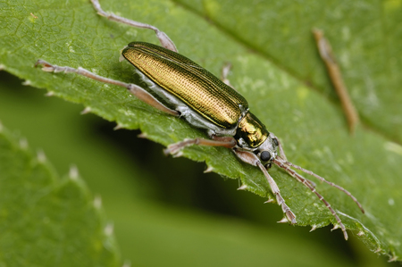 Reed Beetle - Donacia simplexMetallic beetle of Wetlands Stock Photo