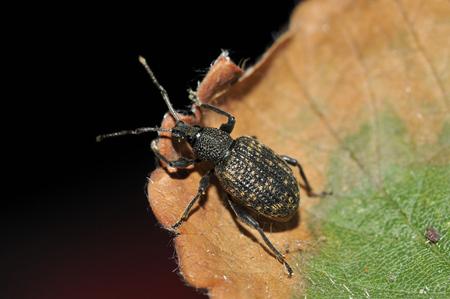 Black Vine Weevil - Otiorhynchus sulcatus Stock Photo