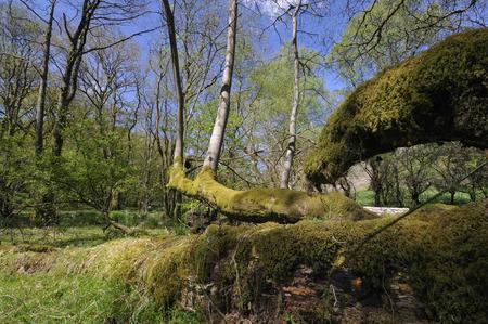 Arbre tombé dans l'Aulne Woodland, RSPB Dinas, Llandovery, Centre du Pays de Galles Banque d'images - 82871561