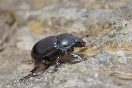 Dor Beetle - Geotrupes stercorariusLarge Black Beetle