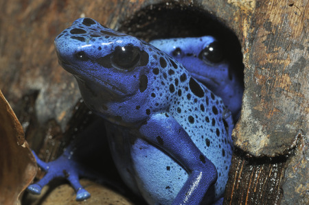 Blue Poison Frog - Dendrobates tinctorius azureus Rare species from Surinam Stock Photo