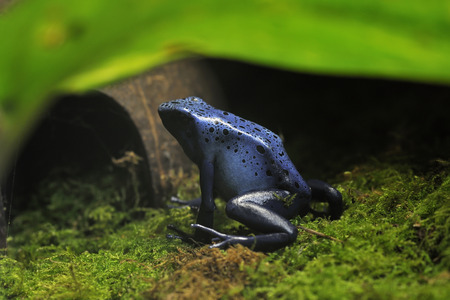 dendrobates: Blue Poison Frog - Dendrobates tinctorius azureus Rare species from Surinam Stock Photo