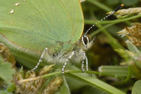 Green Hairstreak - Callophrys rubi in grass