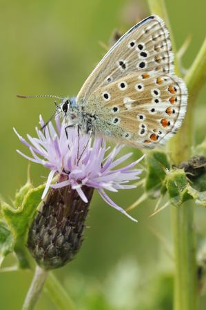 landscape: Adonis Blue Butterfly - Lysandra bellargus Underside