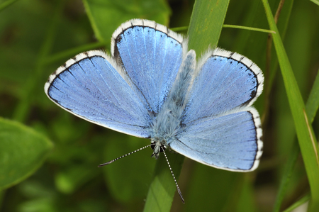 Male Adonis Blue Butterfly - Lysandra bellargus Banque d'images