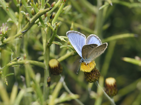 Paphos Blue - Glaucopsyche paphosEndemic Cyprus Butterfly On Phagnalon rupestre Flowerwith Laval food plant Genista fasselata