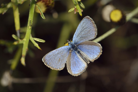 Paphos Blue - Glaucopsyche paphosEndemic Cyprus Butterfly on Phagnalon rupestre Flowerwith foodplant Genista fasselata