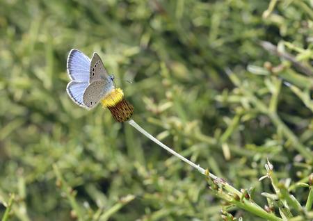 Paphos Blue - Glaucopsyche paphosEndemic Cyprus Butterfly On Phagnalon rupestre
