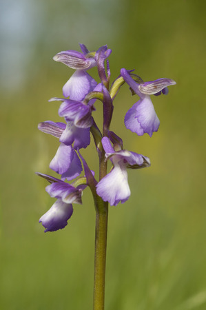 Green-winged Orchid - Anacamptis morio Stock Photo