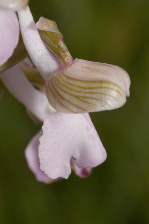 Green-winged Orchid - Anacamptis morio Single flower close up.Flesh pink form