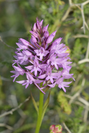Pyramidal Orchid - Anacamptis pyramdaliswith background of Spiny Burnet - Sarcopoterium spinosum