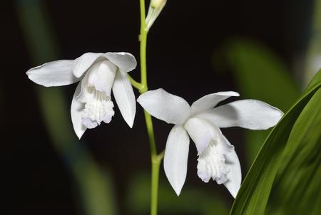 Striped Bletilla Orchid - Bletilla striata var alba From South East Asia