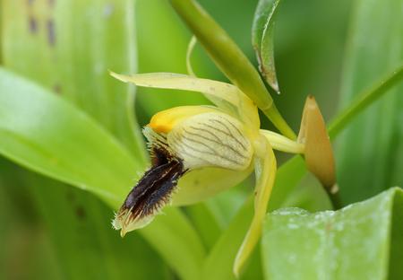 Okergeel Coelogyne Orchidee - Coelogyne fuscescens Uit Nepal, India, Sikkim, Bhutan, lager Birma, China en het noordoosten van Thailand Stockfoto - 83539123