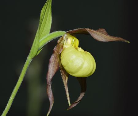 アツモリソウ henryi x アツモリソウ parviflorum と parviflorum のアツモリソウのハンク ' 小さなハイブリッド
