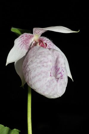 lady's slipper: Formosa Ladys Slipper Orchid - Cypripedium formosanum