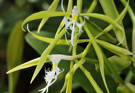 Fringed Star Orchid - Coilostylis ciliare From South America