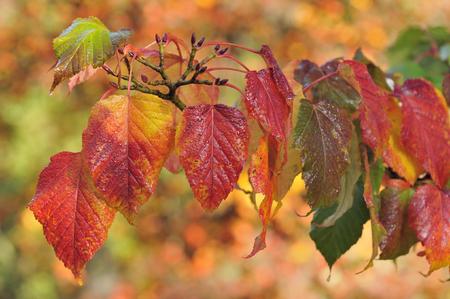 Red Snake Bark Maple - Acer capillipes Autumn leaves