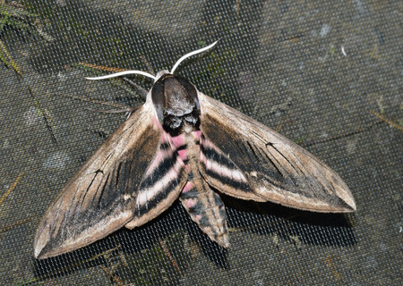 Privet Hawkmoth - Sphinx ligustriOne of Britains Largest Moths