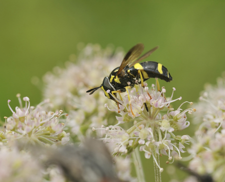 Hoverfly - Chrysotoxum bicinctum Female Stock Photo