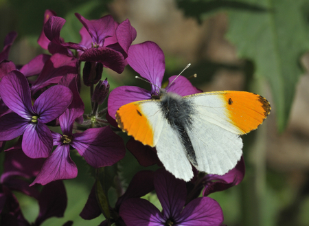 Orange Tip Butterfly - Anthocharis cardamines Male, on Honesty flowers - Lunaria annua Stock Photo