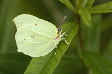 Brimstone - Gonepteryx rhamni, Female