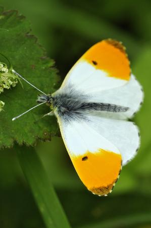 Orange Tip Butterfly - Anthocharis cardamines Male, wings open