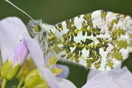 Orange Tip Butterfly - Anthocharis cardaminesu Male closeup, on Cuckoo Flower or Ladys Smock - Cardamine pratensis Stock Photo