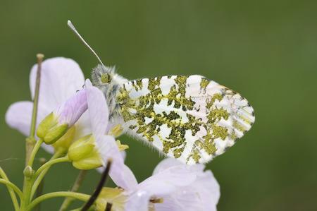 Orange Tip Butterfly - Anthocharis cardamines Male, on Cuckoo Flower or Ladys Smock - Cardamine pratensis