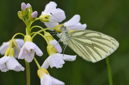 pieris: Green-veined White Butterfly - Pieris napiUnderside, resting on Cuckoo Flower or Ladys Smock - Cardamine pratensis Stock Photo