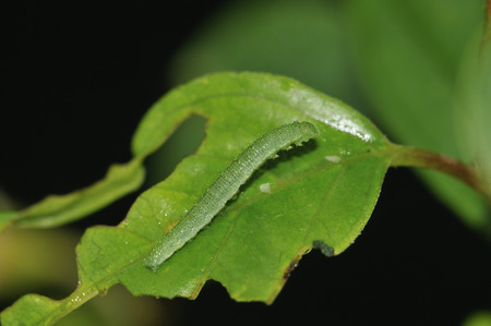 Brimstone Butterfly - Gonepteryx rhamni Caterpillar on Buckthorn leaf - Rhamnus catharticus