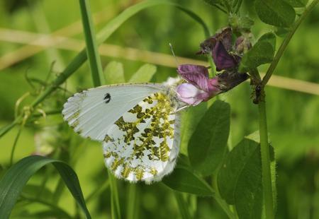Orange Tip Butterfly - Anthocharis cardaminesFemale feeding on Vetch Stock Photo