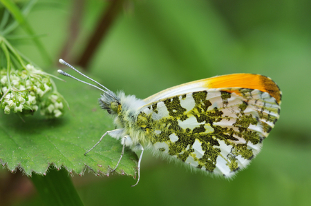 Orange Tip Butterfly - Anthocharis cardamines Male, wings partially open